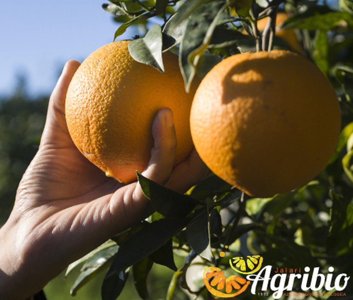 Azienda agricola biologica jalari - Agrumi biologici siciliani - arancio newhall