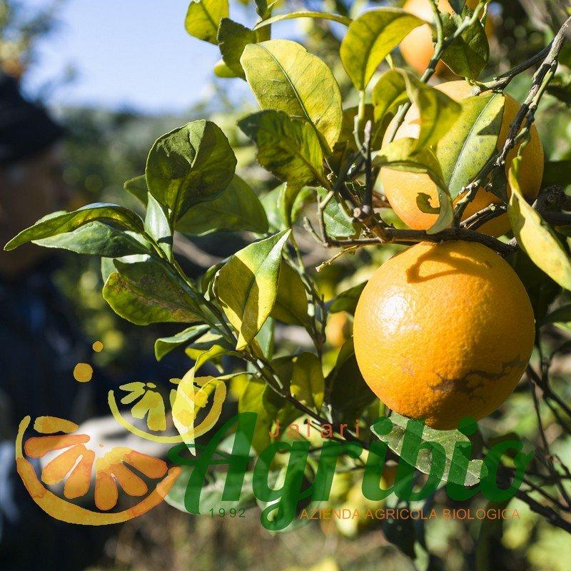 Agrumi biologici siciliani - arancio newhall