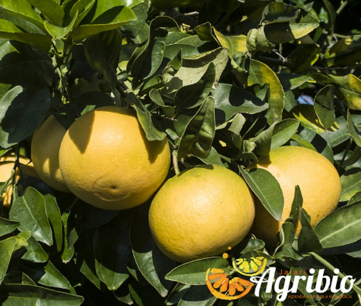 Azienda agricola biologica jalari - Agrumi biologici siciliani - pompelmo rosa