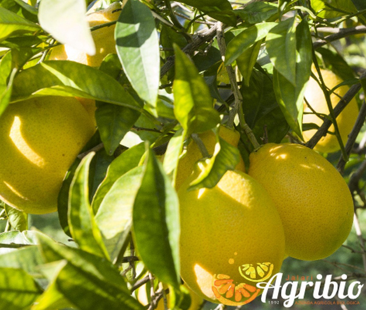 Azienda agricola biologica jalari Agrumi biologici siciliani - arancio tarocco messina