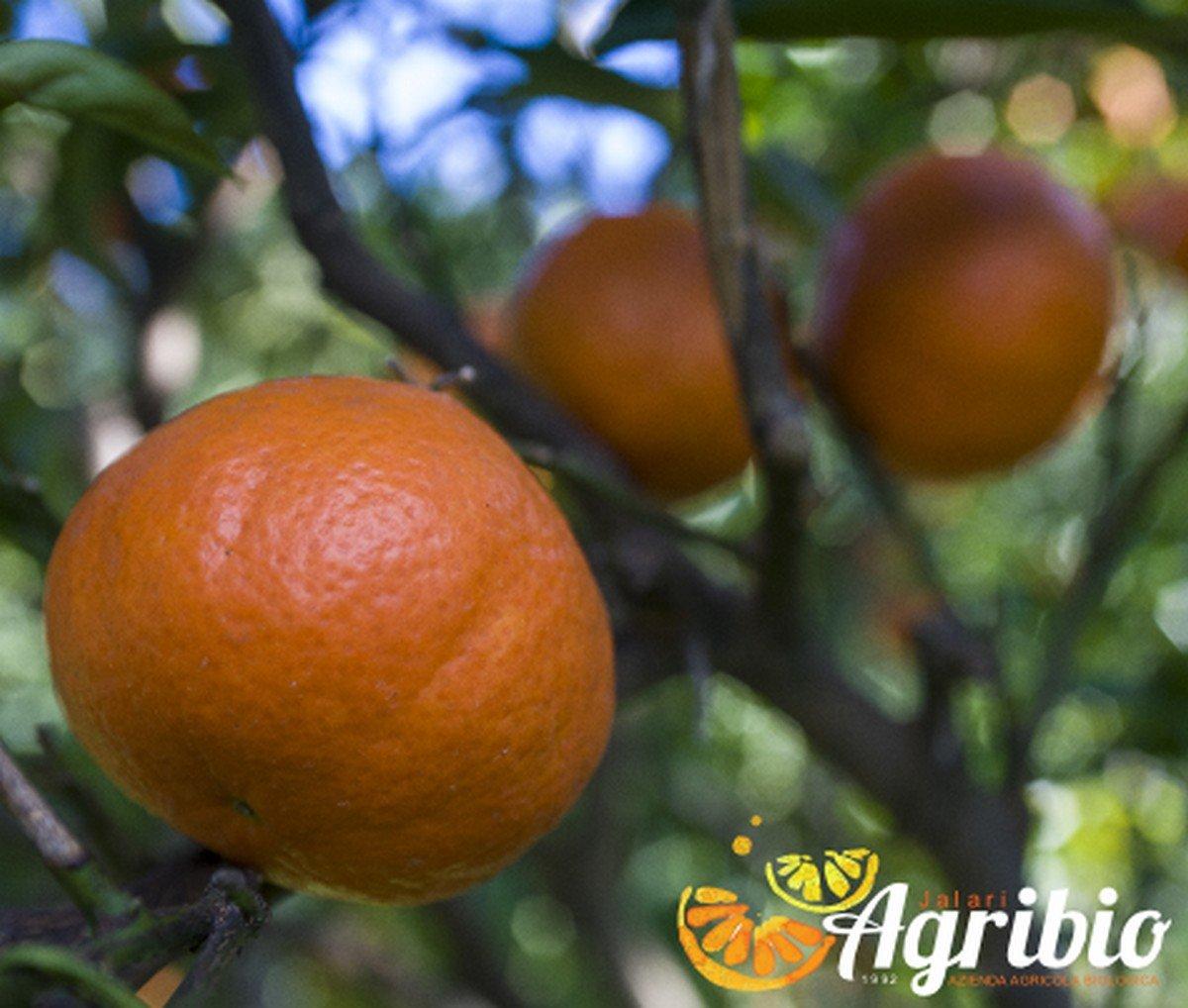 Azienda agricola biologica jalari - Agrumi biologici siciliani - clementine nova