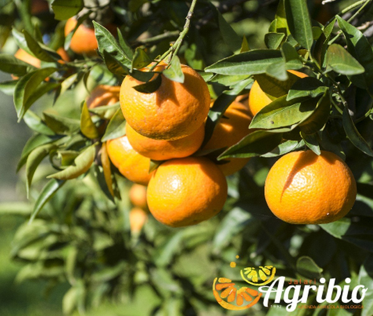 Mandarini Marzolini Azienda Agricola Biologica Jalari