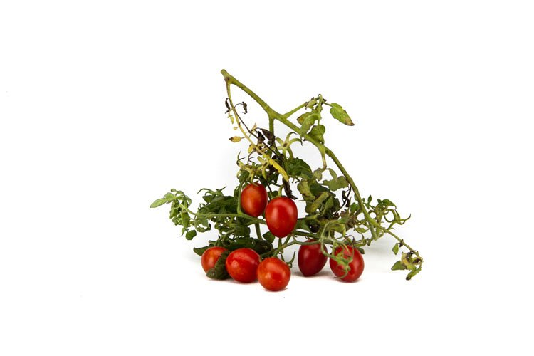 "Il pomodorino a ""siccagnu"" Azienda Agricola Biologica Jalari"