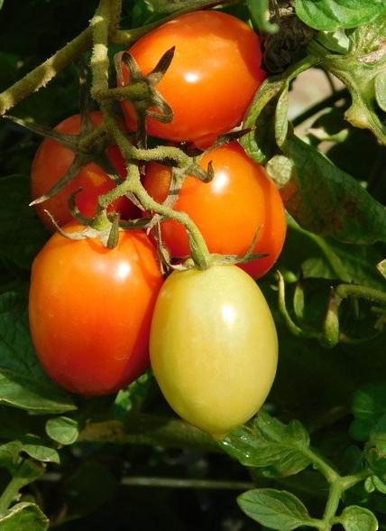 """La coltivazione del pomodorino a """"siccagnu"""" Azienda Agricola Biologica Jalari"""