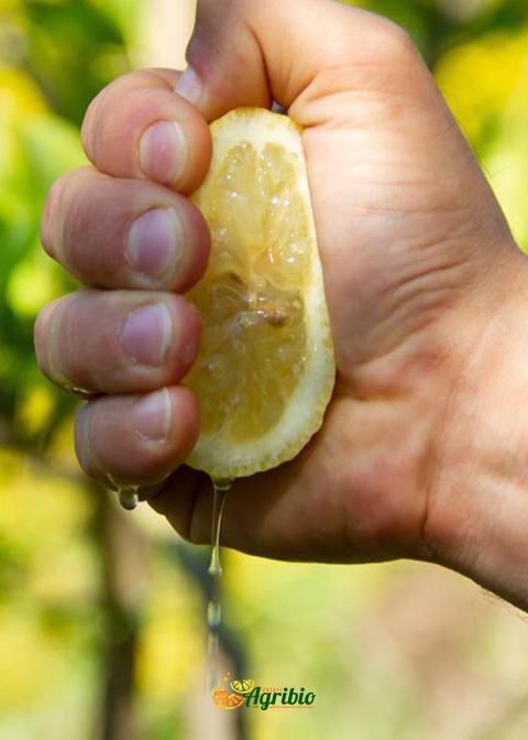 Il limone Femminello, elisir di lunga vita Azienda Agricola Biologica Jalari