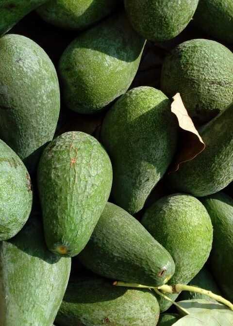 Avocado siciliano Azienda Agricola Biologica Jalari